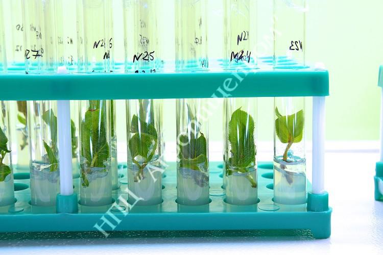 Введенные в культуру in vitro экспланты актинидии.