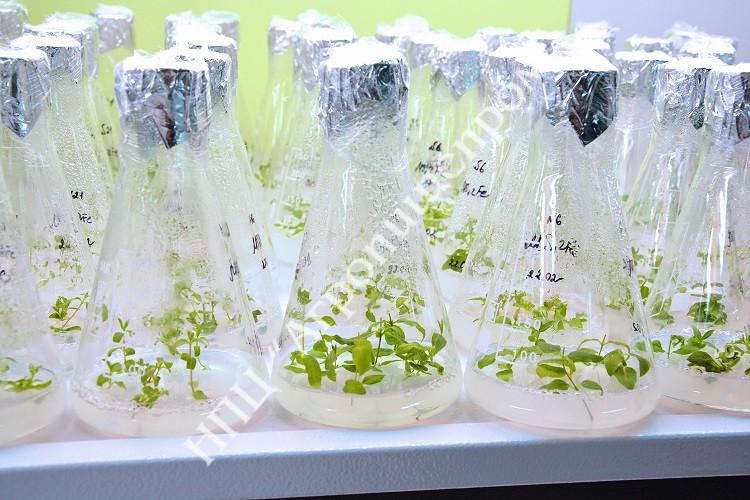 Микропобеги жимолости на этапе размножения в условиях in vitro.