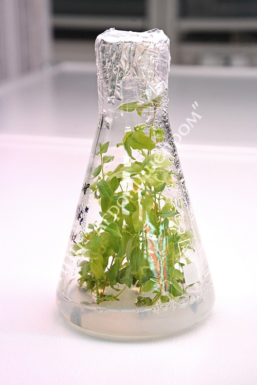 Микропобеги жимолости в условиях in vitro