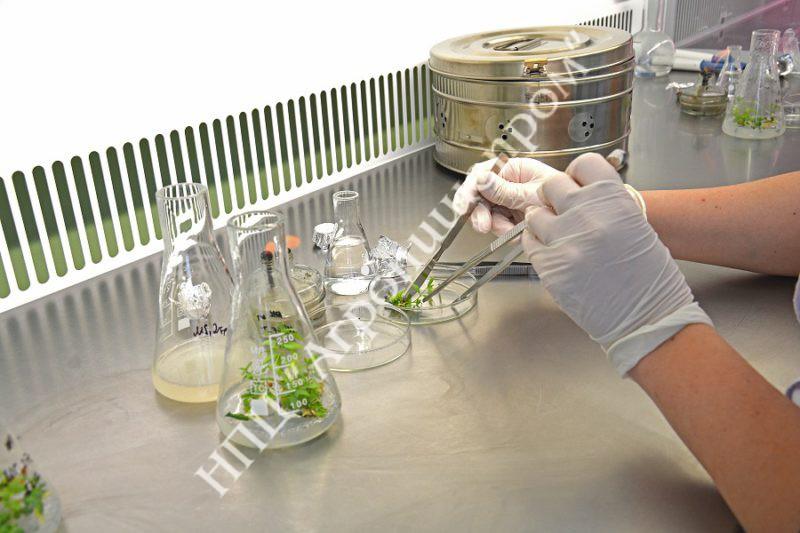 Нарезка микрочеренков жимолости в стерильных условиях.