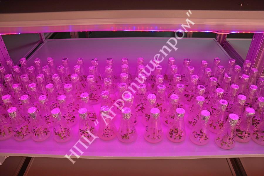 Общий вид микрорастений под светодиодным освещением в лаборатории миклоклонального размножения.