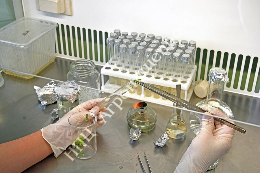 Процесс введения эксплантов облепихи в культуру in vitro в стерильных условиях.