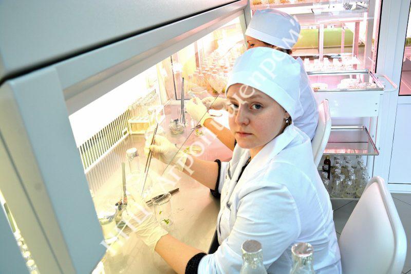 Процесс введения в культуру in vitro эксплантов сотрудниками лаборатории.