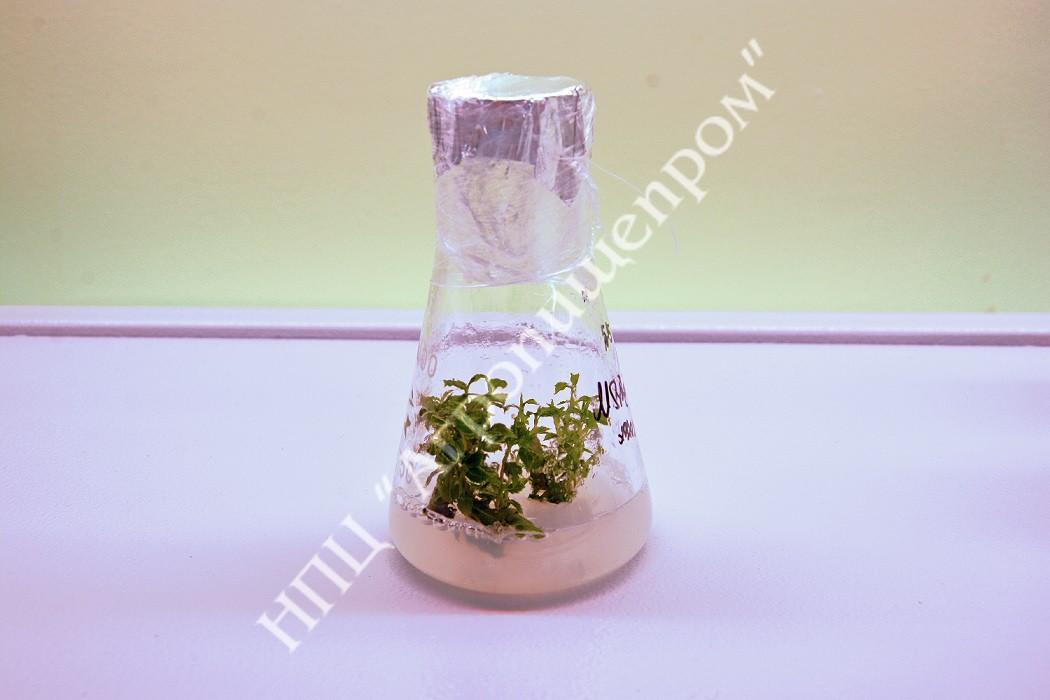 Микропобеги аронии (черноплодной рябины) на агаризированной питательной среде.