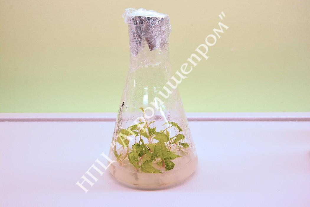 Микропобеги актинидии на агаризированной питательной среде.