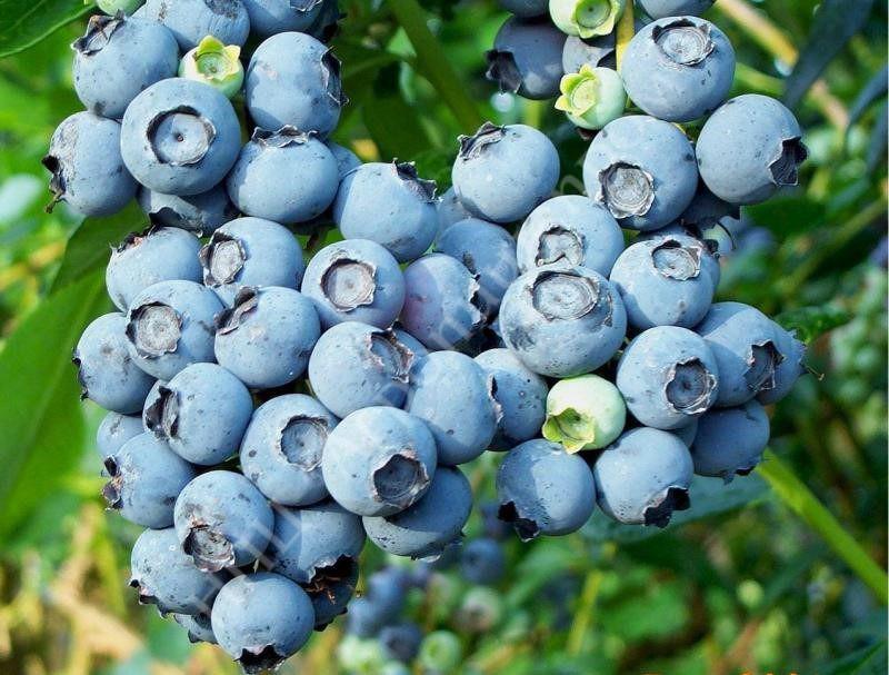 Голубика сорт Bluecrop