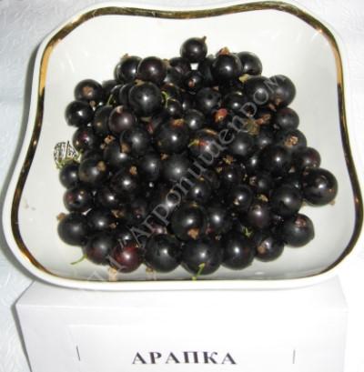 Смородина черная сорт Арапка