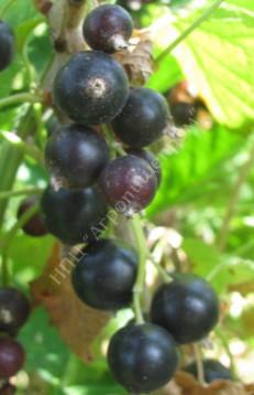 Смородина черная сорт Брянский агат