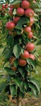 Яблоня колоновидная сорт Арбат