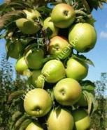 Яблоня колоновидная сорт Гирлянда