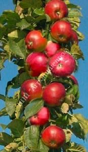 Яблоня колоновидная сорт Триумф