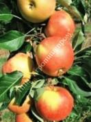 Яблоня колоновидная сорт Восторг