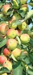 Яблоня колоновидная сорт Зелёный шум
