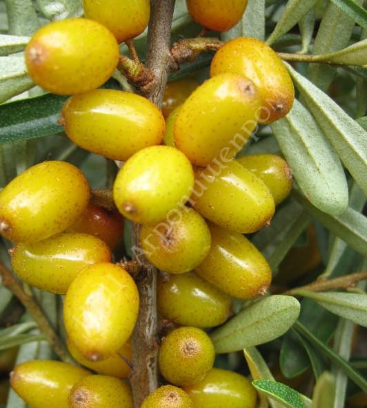 Облепиха сорт Ботаническая ароматная